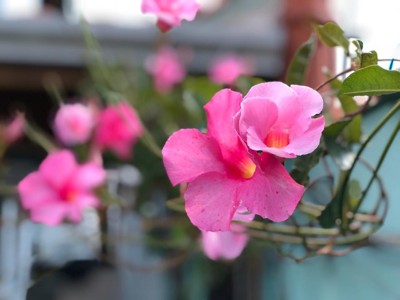 flor rosa2 2019-02-25 at 15.42.31(2)