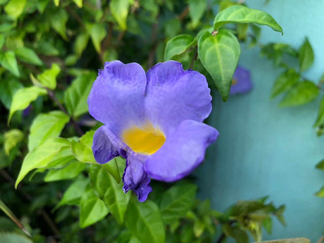 flor lilas